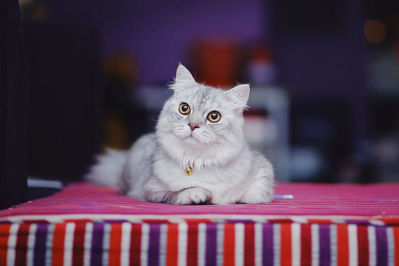 A Cat Take a Rest on Sofa Couch #cats #cat #catslover Cat Looking At Camera Sitting Indoors  Close-up No People One Animal Vertebrate Table Kitten Portrait Focus On Foreground Feline First Eyeem Photo