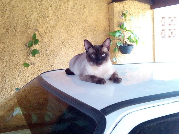 Meu gato Shany.