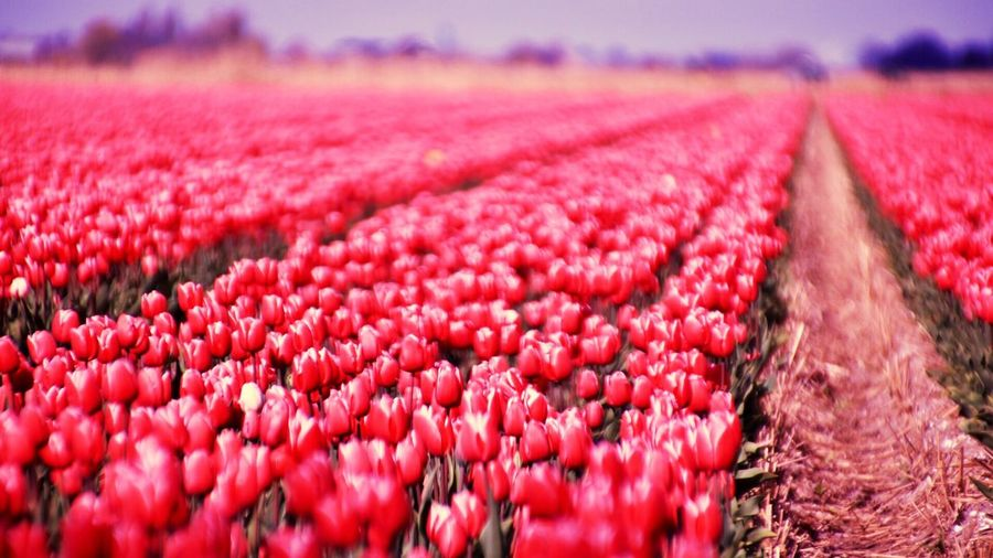 Hello World Check This Out Red Tulips Field Agriculture Landscape Selective Focus Focused EyeEm Best Edits EyeEmBestPics EyeEm Best Shots EyeEm Gallery Eye4photography  Outdoors Adventure Springtime EyeEm Best Shots - Nature What Do You Think?