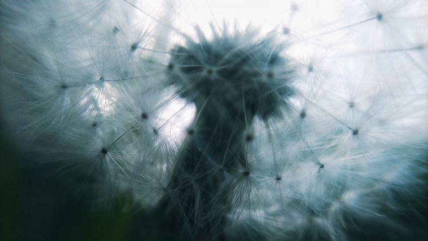 Mobilephotography Flower Close-up Dandelion Dandelion Seed