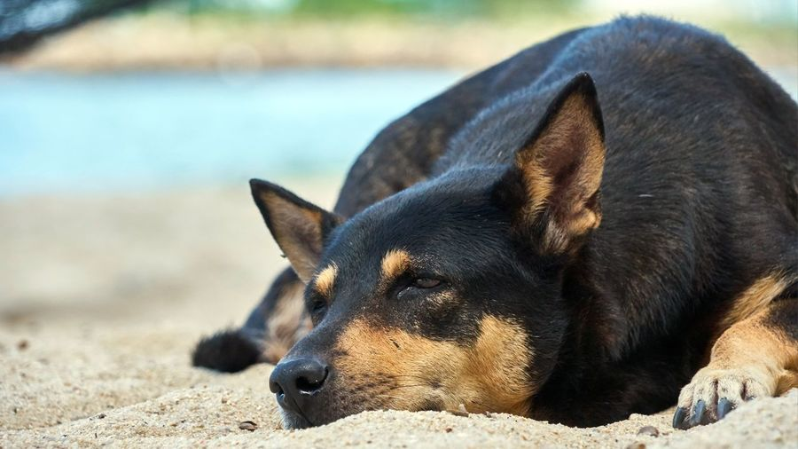Close-Up Of Dog Relaxing On Sand