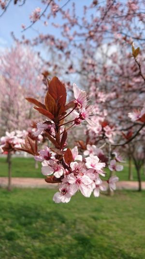 Spring Springtime Blooming Blooming Tree Blooming Trees Flower Tree Cherry Blossoms Cherry Tree Cherry Flowers Pink Flowers Pink Trees Micro Photography Micro Flowers