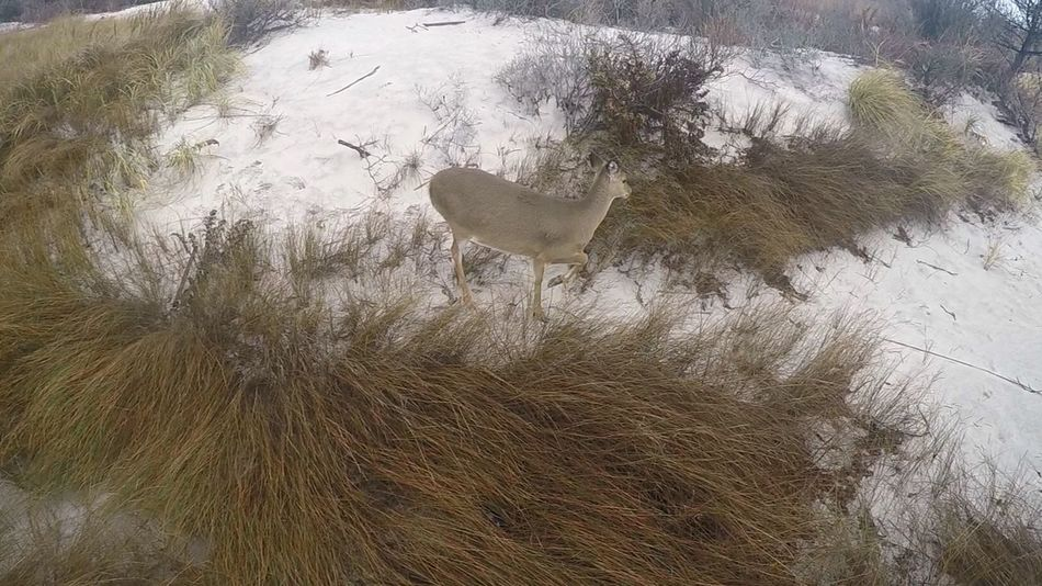 Fire Island Board Walk Deer White Tailed Deer Beach Long Island Wildlife Nature Beautiful Wildlife & Nature Wildlife Photography Nature_collection