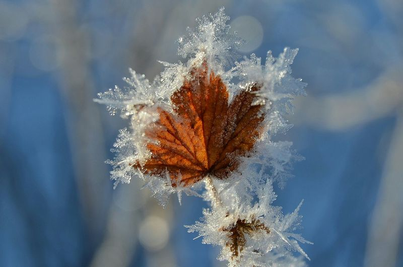 Close-up of frosted leaf