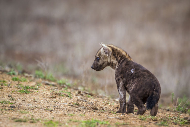 Close-up of hyena looking away while standing on land