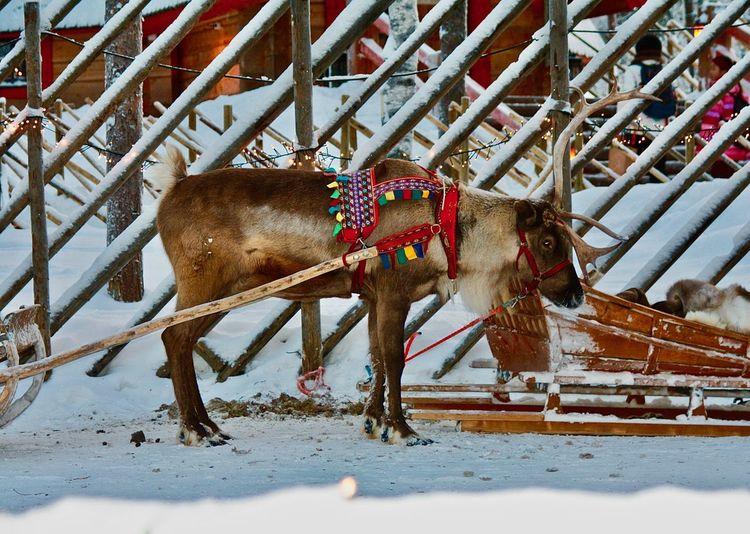 Reindeer Sleight Ride - Santa Claus Village, Rovaniemi (Lapland). Animals In The Wild Finland Lapland Reindeer Animal Themes Cold Temperature Domestic Animals No People Outdoors Rovaniemi Safari Safari Animals Safari Park Snow Standing Winter