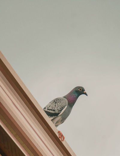 Low angle view of pigeon perching on the wall