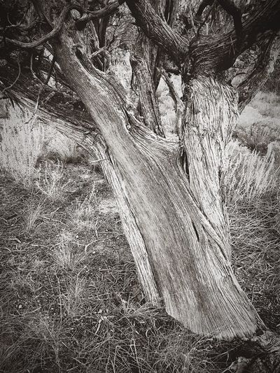 """Stately Juniper"" The character of an old Juniper Tree evident in its stately bark. Texture Tree Tree Trunk Close-up Stately Junipertree Juniper Blackandwhite Photography Blackandwhite Newmexico Newmexicophotography"