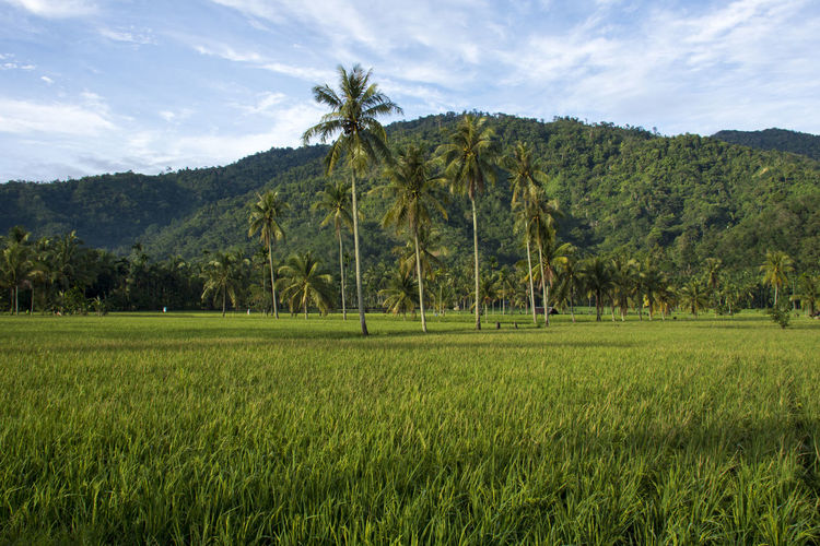 Landscape Plant Land Environment Tree Scenics - Nature Sky Tranquility Beauty In Nature Tranquil Scene Field Green Color Palm Tree Growth Nature Rural Scene Grass No People Agriculture Tropical Climate Outdoors Rice Paddy Fields View Rice Paddy Rice - Food Staple INDONESIA