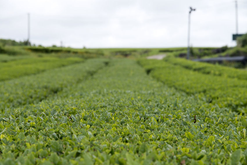 rural landscape of green tea field at Osulloc in Jeju Island Agriculture Beauty In Nature Close-up Day Farm Field Field Freshness Grass Green Color Green Tea Green Tea Field Growth JEJU ISLAND  Landscape Nature No People Osulloc Outdoors Rural Scene Selective Focus Sky
