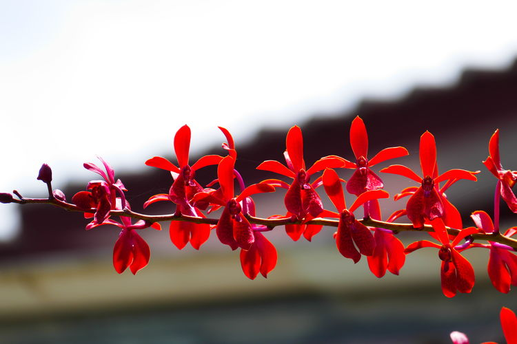Red Plant Beauty In Nature Growth Flower Close-up Focus On Foreground Nature No People Freshness Day Flowering Plant Fragility Vulnerability  Petal Plant Part Outdoors Selective Focus Leaf Flower Head Sky Orchid Wild Orchid Wild Flower Flowering Plant Tropical Plant Flowers In Thailand
