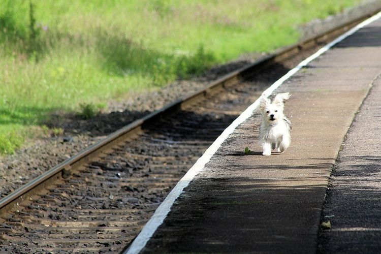 Railroad Track Transportation Rail Transportation Day Outdoors One Animal The Way Forward No People Nature Animal Themes Pets Mammal Grass Where Is My Train