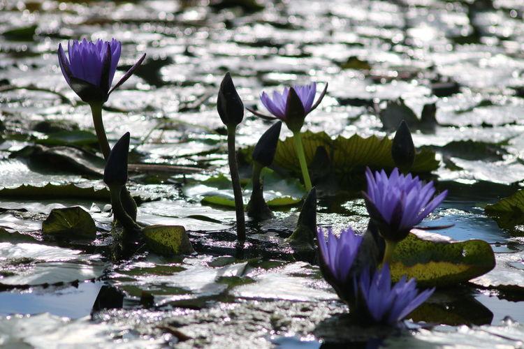 Purple water lilies blooming on pond