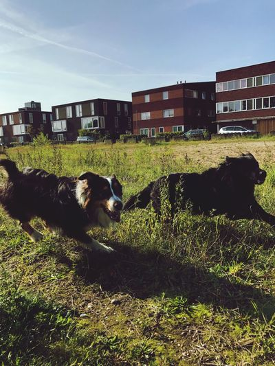 The Week On EyeEm Domestic Animals Building Exterior Architecture Grass Animal Themes Built Structure Mammal Pets No People Dog Day House Outdoors Field Sky Nature Nature Australianshepherd Austrailian Shepherd Running Play Time Friends Happiness Amsterdam