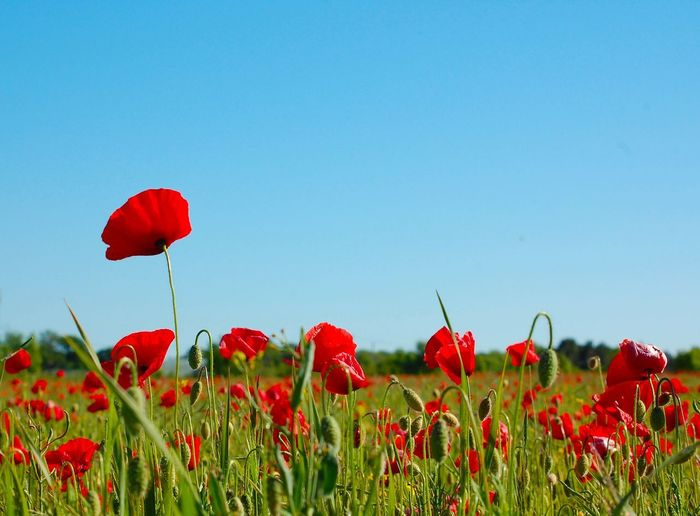 Close-up of red poppies on field against clear sky