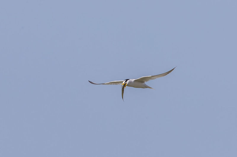 Low angle view of bird with prey flying in clear sky