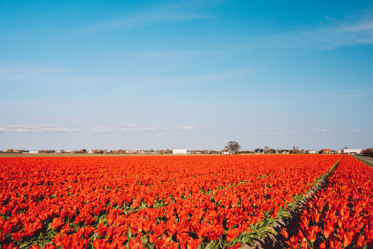 Scenic view of red flowers growing on field against sky