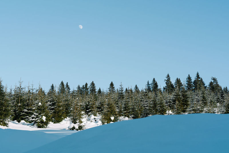 Pine trees against clear sky and moon during winter
