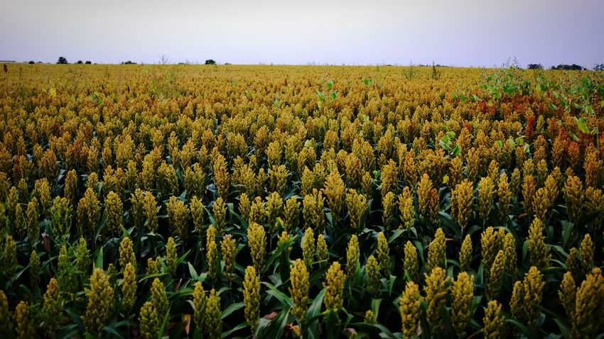 Sorghum bicolor, commonly called sorghum (/ˈsɔrɡəm/) and also known as durra, jowari, or milo, is a grass species cultivated for its grain, which is used for food, both for animals and humans, and for ethanol production. Sorghum originated in northern Africa, and is now cultivated widely in tropical and subtropical regions. Sorghum is the world's fifth most important cereal crop after rice, wheat, maize and barley. S. bicolor is typically an annual, but some cultivars are perennial. It grows in clumps that may reach over 4 m high. The grain is small, ranging from 3 to 4 mm in diameter. Sweet sorghums are sorghum cultivars that are primarily grown for foliage, syrup production, and ethanol; they are taller than those grown for grain. S. bicolor is the cultivated species of sorghum; its wild relatives make up the botanical genus Sorghum. Sorghum Milo Durra Jowari Farmland Nebraska Crops Landscape Color Photography Rural America