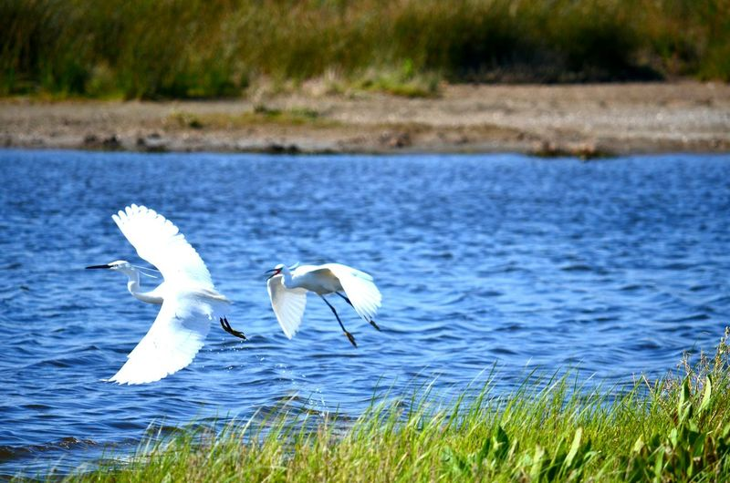 Animals In The Wild Animal Themes Bird Wildlife Water Spread Wings Lake Flying Side View Zoology White Color Twoanimals Avian Nature Blue Lakeshore Great Egret Italy Circeo Quattro Laghi The Week On EyeEm
