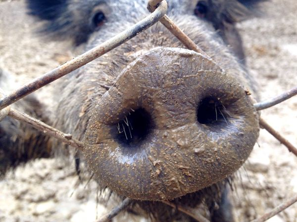 Pig Pigs Nose нос свинья
