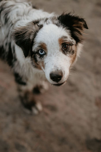 Blue Merle Blue Eyes Adopt Animal Body Part Animal Eye Border Collie Canine Close Up Close-up Day Dog Domestic Domestic Animals High Angle View Looking At Camera Mammal Mini Aussie No People One Animal Pets Portrait Selective Focus Vertebrate