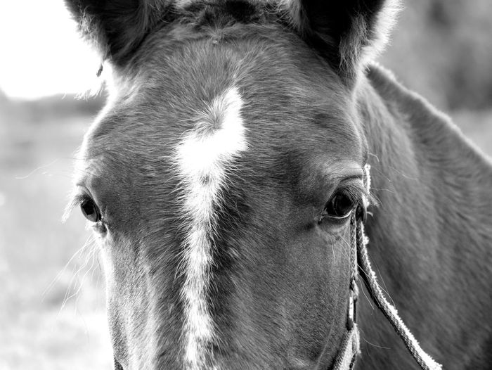Close-up portrait of a horse