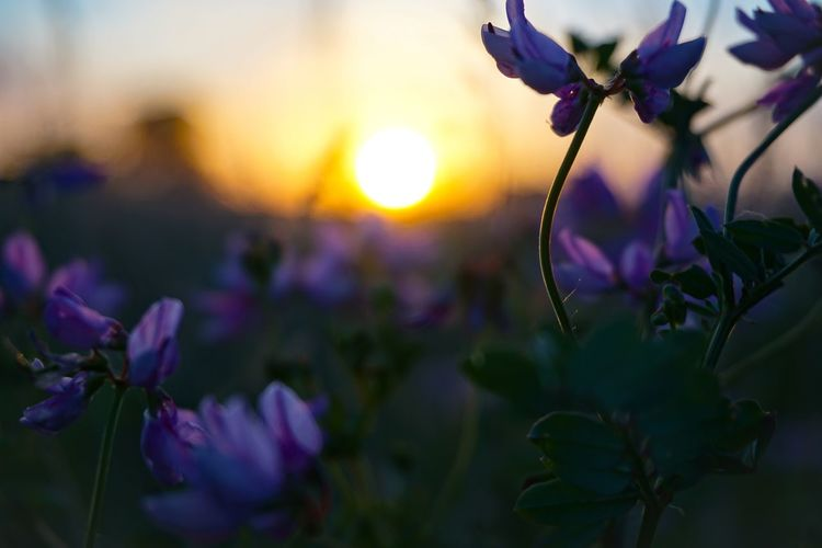 Close-up of purple flowering plants during sunset