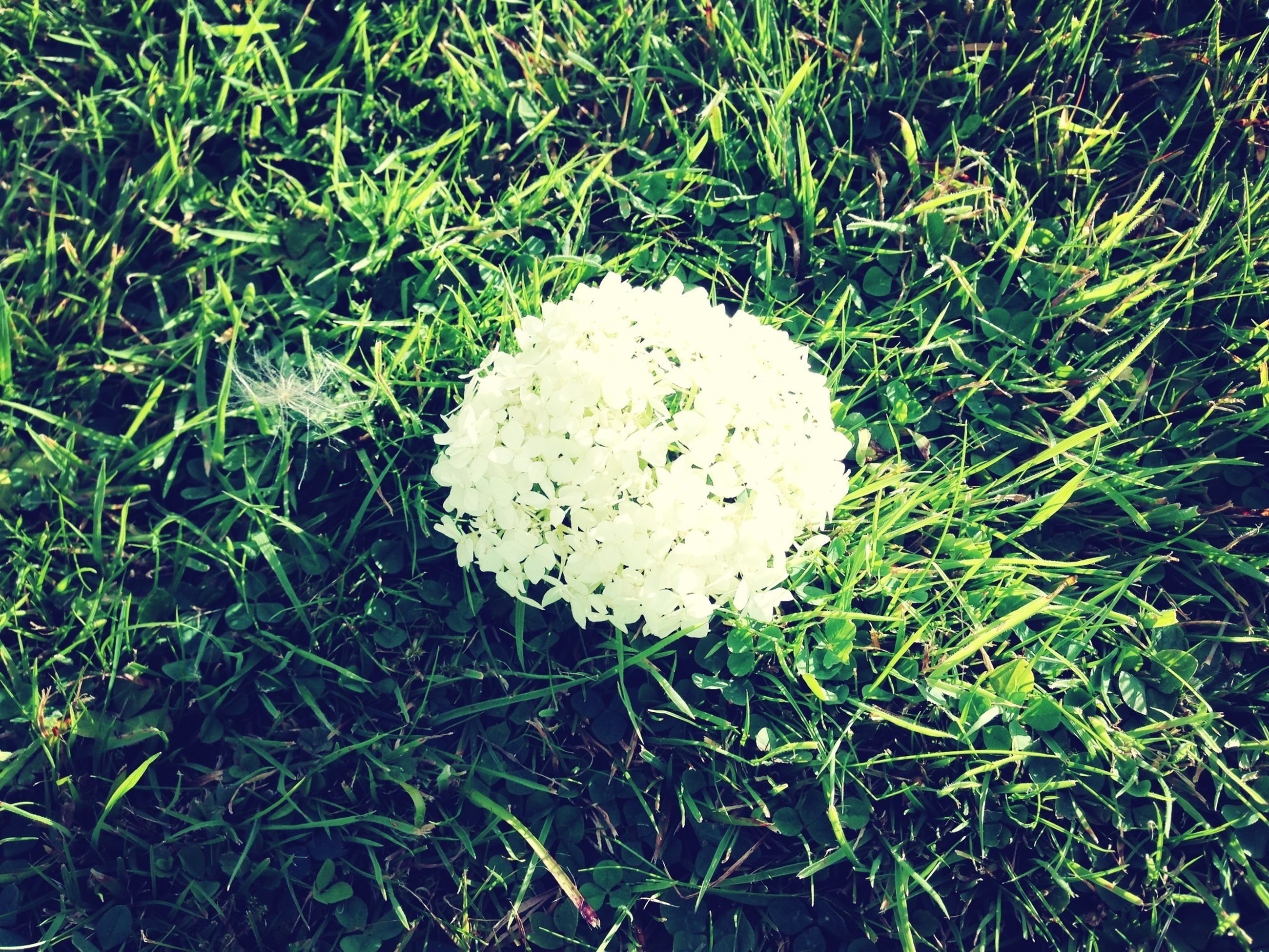 grass, field, growth, grassy, high angle view, nature, white color, fragility, green color, beauty in nature, freshness, close-up, mushroom, plant, day, outdoors, flower, fungus, no people, tranquility