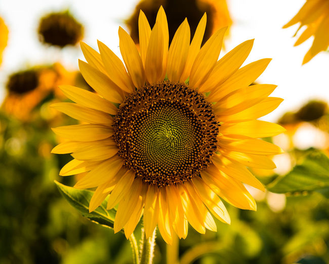 Close-Up Of Sunflower In Farm Against Sky