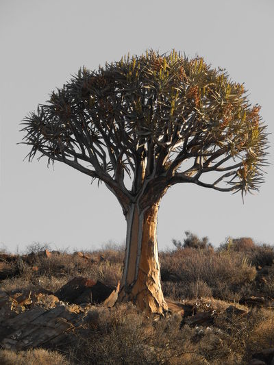 Aloe Dichotoma Botany Branch Clear Sky Field Kokerboom Landscape Loeriesfontein  Nature Northern Cape Outdoors South Africa Tranquil Scene Tranquility Tree Tree Trunk Fine Art Photography Still Life Finding New Frontiers The Great Outdoors - 2017 EyeEm Awards