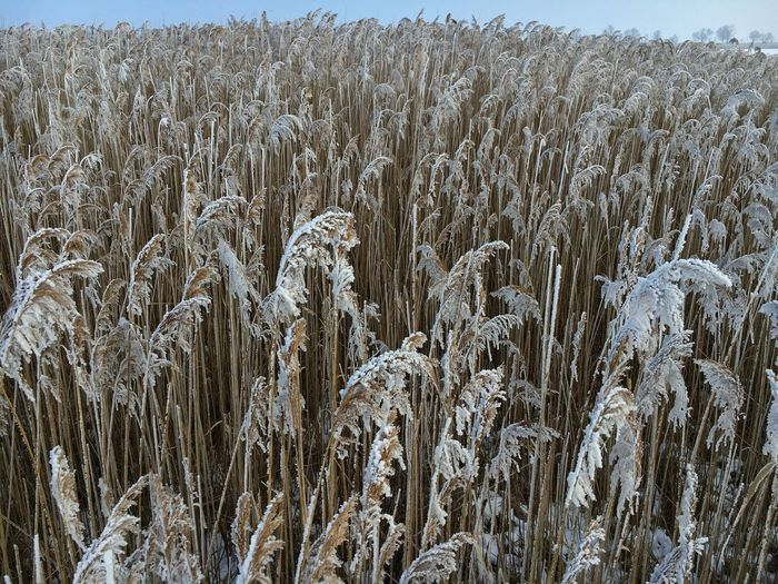 Phragmites australis Backgrounds Beauty In Nature Field Nature No People Outdoors Phragmites Australis Reed Rural Scene Winter