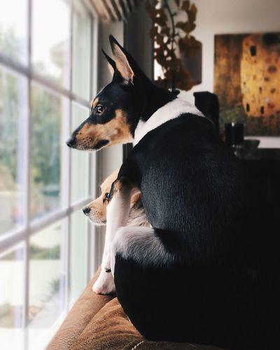 Beagles. Pets Dog Beagles  Adorable Love