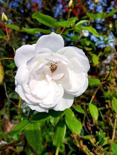 EyeEm Selects EyeEm Best Shots EyeNatureLover EyeEmNewHere Flower Head Flower Petal White Color High Angle View Leaf Close-up Plant Plant Life Passion Flower Blooming Wild Rose Osteospermum