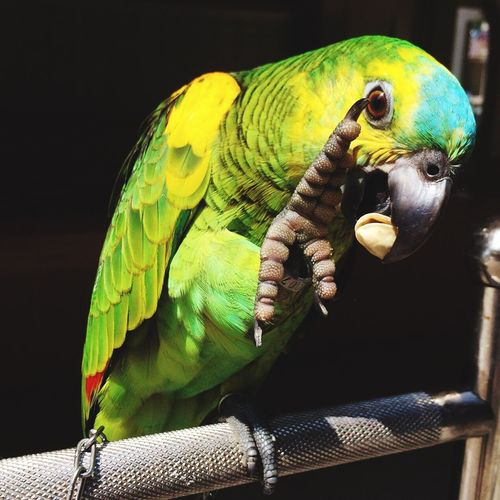 Buckle? Check This Out That's Me Hello World Taking Photos Bluefrontedamazon Amazonparrot Parrot Parrots Cute Pets Cute