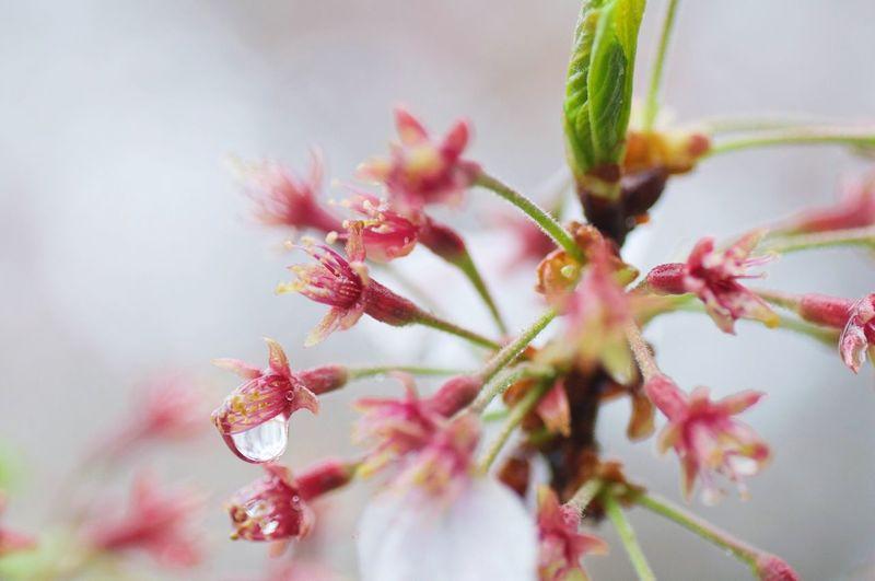 Sakura Cherry