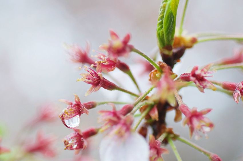 Sakura Cherry Blossoms After Bloom In The Rain Taking Pictures In The Rain