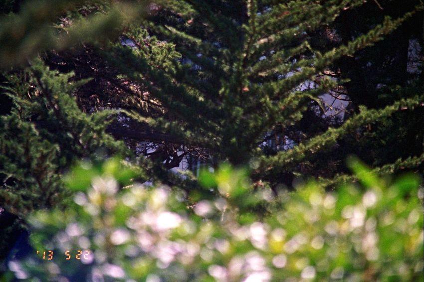 2013 Carmel Highlands Nature Close-up Date Stamp Film Tree Olympus Koduckgirl Bokehlicious