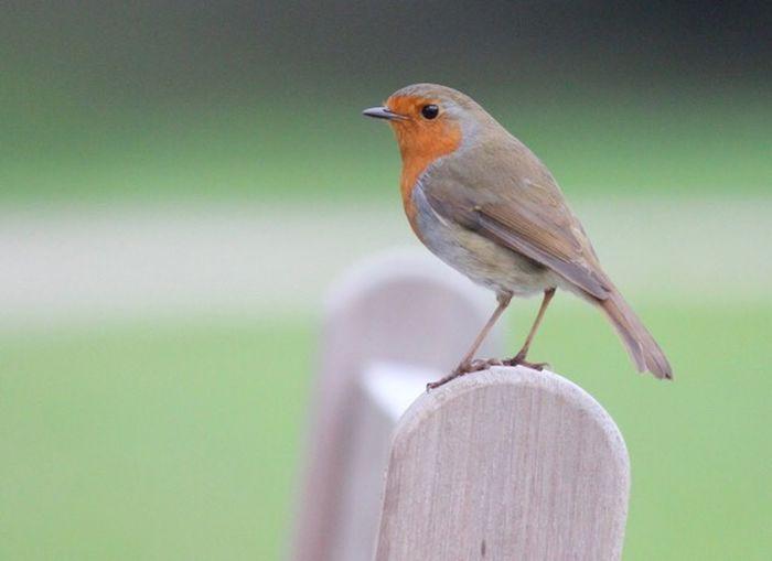 Perching Animals In The Wild Animal Wildlife Bird Robin