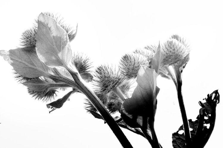 Greater Burdock Wild Herbs Nature Blackandwhite Große Klette Nature's Diversities