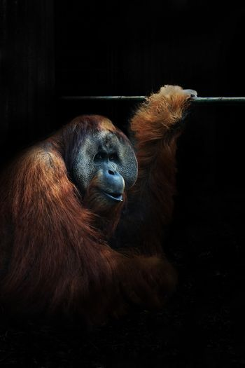 Someday ... Animal Animal Themes Animal Wildlife Ape Cage Close-up Dark Day Indoors  Mammal Monkey No People Orangutan Portrait Redhair Zoo