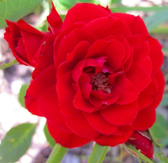Mini The Red Rose & Her Flower Buds Macro A fresh, delightful and charming arrangement of a miniature red rose and flower buds surrounding her full bloom in the middle of Summer. Graceful Garden Attention Grabbing EyeEmNewHere Profile Picture Background Wallpaper Buds Almost Blooming Charming Cottage Blossom Classic Garden Close-up Dramatic Elegant Enchanting Nature Flowers In Kansas Flowers Of Summer Garden Photo Herb Herbal Properties Macro, Perennial Plants Red Rose Flower Regal Roses In The Garden Stunning Photo Tender Sweet Vibrant Colors Visually Stimulating Whimsical Fun