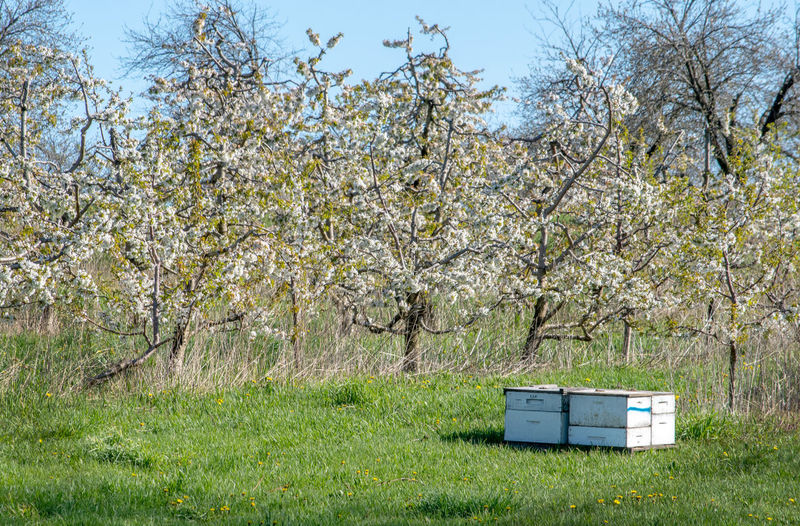 Bee hives are set out for bees to pollinate the fruit trees