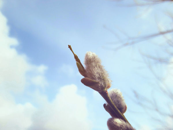Simple Weidenkätzchen Macro Nature Cloudy Sky Between Sunshine Landscape Countryside Northgermany Showcase April EyeEm Nature Lover Eye4photography  Nature Photography Plants Blooming Blossoms  Spring Springtime Spring Into Spring White Flower Springtopic Natural Beauty Check This Out Branch