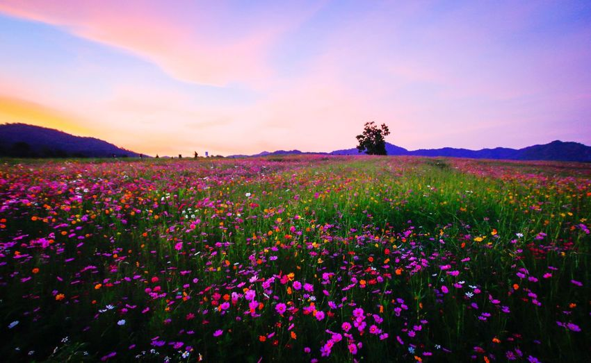 Flowers Blooming On Field Against Sky During Sunset