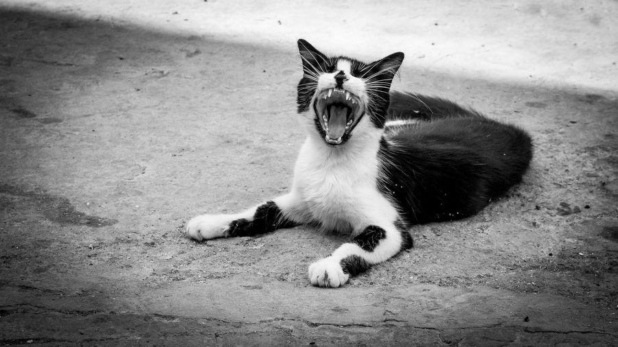 Cat Yawning While Sitting Outdoors