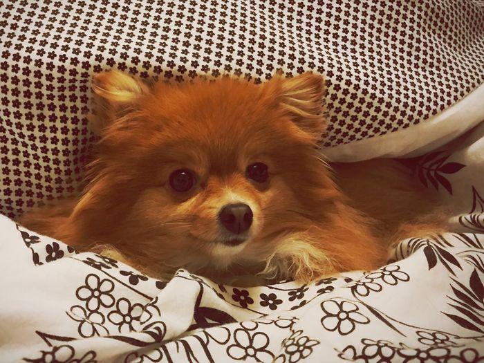 Peek a boo Snug As A Bug In A Rug Peekaboo Freyja Pomgrel One Animal Animal Themes Pets Mammal Domestic Animals Dog Close-up