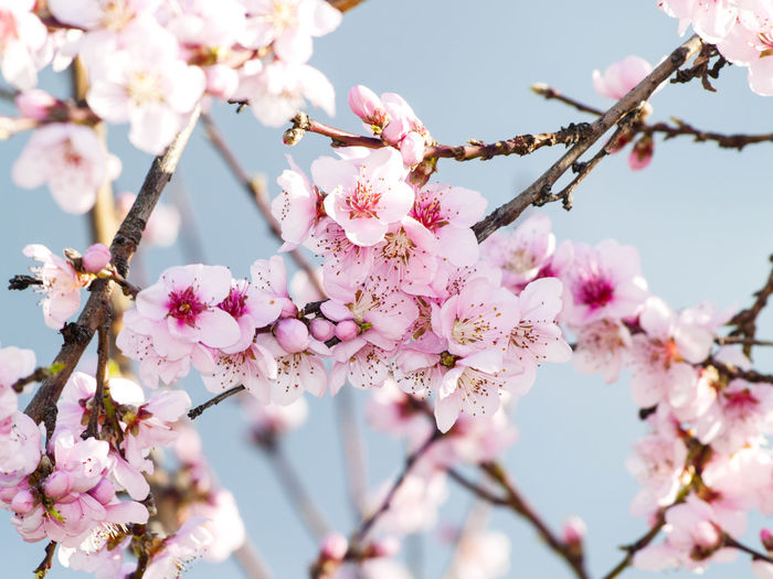 Almond Almond Blossom Almond Tree Beauty In Nature Blossom Botany Branch Day Flower Fragility Freshness Growth Low Angle View Nature No People Outdoors Petal Pink Pink Color Pink Flower Plum Blossom Spring Springtime Tree Twig