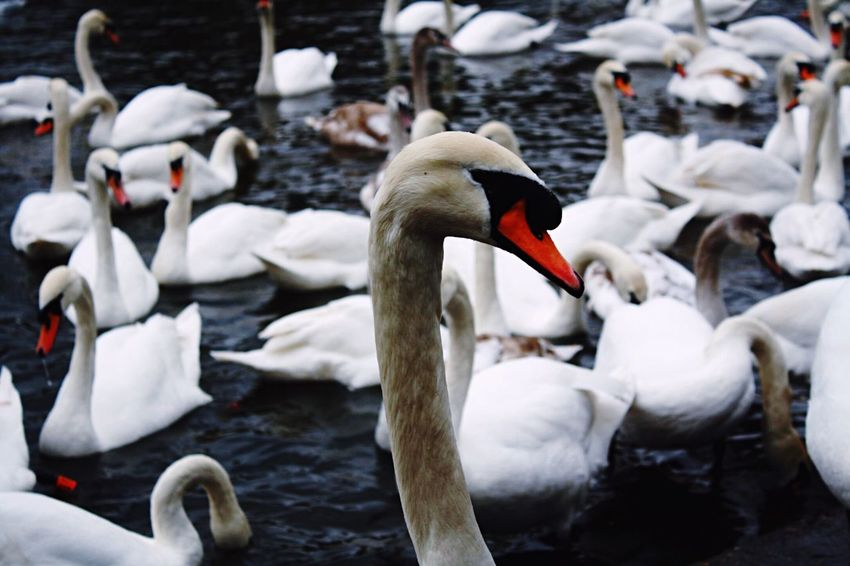 Swans in the river, got close and personal with one of them, not sure it was too happy about it