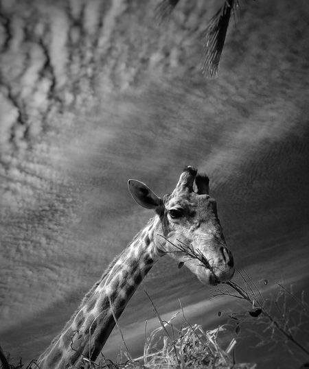 3 meters over me Giraffe Blackandwhite Photography Clouds And Sky